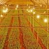 Chiếu sáng hoa cúc bằng đèn led tiết kiệm 70% điện năng tiêu thụ