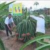 Chợ Gạo thu hoạch thanh long nghịch vụ
