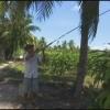 Phương pháp bẫy chuột trên cây dừa
