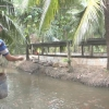 Mô hình nuôi trùn quế và nuôi cá sạch mang lại hiệu quả kinh tế cao