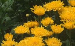 Cái Bè trồng hơn 400 hecta hoa phục vụ Tết Kỷ Hợi 2019