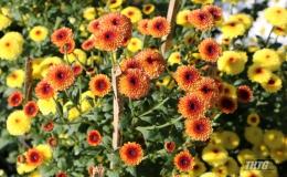 Đa dạng sắc màu hoa cấy mô Tết Kỷ Hợi 2019