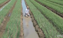 Chợ Gạo trồng 600 hecta rau màu phục vụ Tết Nguyên đán