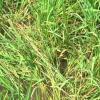 Chuột cắn phá lúa đông xuân ở các huyện phía Tây