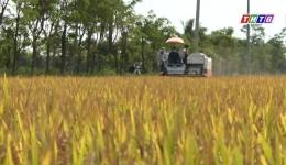 Giải cứu lúa Đông Xuân (25.02.2019)