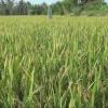 Nông dân Cái Bè chăm sóc lúa sau Tết