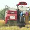 Tiền Giang bắt đầu thu hoạch lúa Đông xuân 2018-2019
