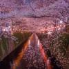 Sông Meguro – 'nàng thơ' giữa lòng Tokyo mùa hoa anh đào