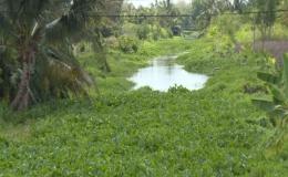 Lục bình tái xâm lấn kênh thủy lợi