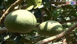 """Cây lành trái ngọt """"Quản lý phòng ngừa sâu bệnh trên cây bưởi"""""""
