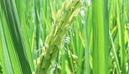 """Bạn nhà nông """"Chăm sóc lúa giai đoạn làm đòng và trổ"""""""