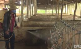 Tiền Giang đã tiêu hủy gần 47 tấn heo nhiễm bệnh dịch tả heo Châu phi