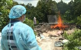 Cai Lậy đã tiêu hủy 304 con heo bị dịch tả heo Châu Phi
