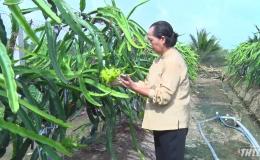Chợ Gạo phát triển giống thanh long vỏ vàng ruột trắng