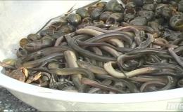 Đắp ụ bẫy lươn mùa nước lũ