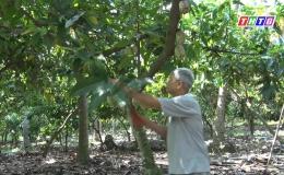 """Chuyên đề 04-11 """"Nông dân huyện Chợ Gạo gắn bó với mô hình trồng cacao xen trong vườn dừa…"""""""