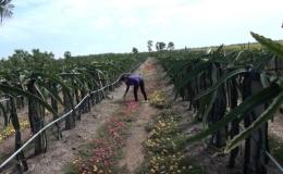 """Chuyền đề 06-12 """"Mô hình trồng hoa mười giờ dưới liếp thanh long hạn chế thuốc diệt cỏ…"""""""