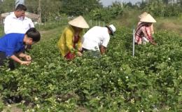 """Chuyên đề 09-12 """"Mô hình trồng hoa lài ở xã Hậu Mỹ Trinh"""""""