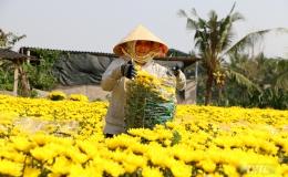 Làng hoa Mỹ Phong những ngày cận Tết Canh Tý 2020