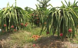Sở Công Thương Tiền Giang họp bàn giải pháp tiêu thụ trái thanh long
