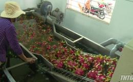 """Tiền Giang triển khai chương trình """"Đồng hành cùng doanh nghiệp, hợp tác xã tiêu thụ trái cây"""""""