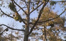 Tiền Giang đã cấp hơn 4.300 m3 nước giải cứu cây sầu riêng