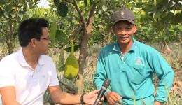 Cây lành trái ngọt: Mô hình 3 tầng cây trồng hiệu quả ở Tân Phước