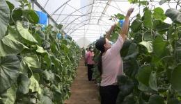 Chuyên đề 05.5 – Mô hình trồng dưa lưới trong nhà mát