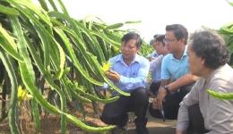 Mô hình trồng thanh long bằng giàn đem lại hiệu quả cao