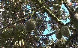 Giải pháp cho cây sầu riêng sau hạn mặn