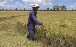 Chuyên đề 09.6 – Nông dân phấn khởi vì làm lúa trúng mùa được giá