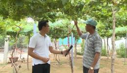 """Cây lành trái ngọt """"Bí quyết trồng nho thành công của nông dân Bến Tre"""""""