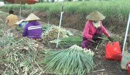 Chuyên đề 16.7 – Chặt sả thuê, giúp nhiều người có thêm thu nhập