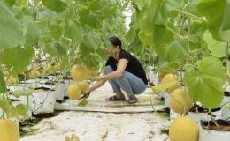 """Cây lành trái ngọt """"Mô hình trồng dưa lưới da vàng"""""""