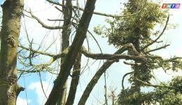 Nguyên nhân và giải pháp khắc phục sầu riêng chết sau hạn mặn