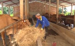 Chuyên đề 21.9 – Phát triển kinh tế từ mô hình trồng thanh long, dừa mã lai và chăn nuôi bò
