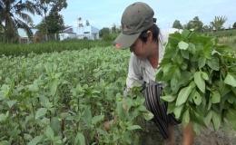 """Chuyên đề 20.10 – Mô hình trồng rau quế cho thu nhập ổn định"""""""