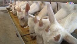 Nuôi dê lấy sữa – mô hình chăn nuôi đem lại hiệu quả cao