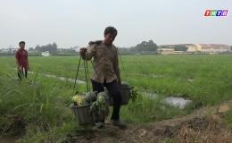 Nông dân huyện Gò Công Tây trúng mùa dưa hấu