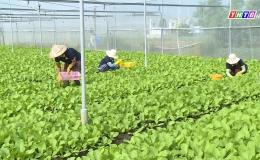 HTX rau Tân Đông trồng rau VIETGAP quy trình hữu cơ