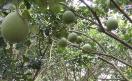 Chuyên đề 08.01 –  Mô hình trồng bưởi da xanh đạt chuẩn Viet Gap