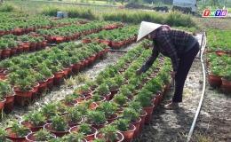 Chuyên đề 15.1- Nông dân Gò Công Đông chuẩn bị hoa phục vụ Tết Tân Sửu 2021