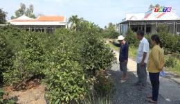 Chuyên đề 26.01 – Mô hình trồng cây mai vàng cho thu nhập kinh tế cao