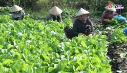 Chuyên đề 27.1 – Nông dân TX Gò Công thu hoạch rau màu đạt năng suất cao