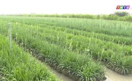 Chuyên đề 17.02 – Mô hình trồng huệ luân canh với cây lúa