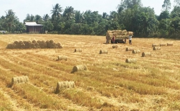 Giảm diện tích sản xuất lúa, nông dân ĐBSCL vẫn có lợi