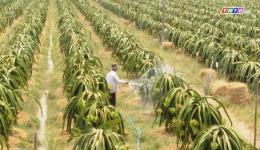 Chuyển đổi từ cây lúa sang cây thanh long – lợi ích kinh tế tăng cao