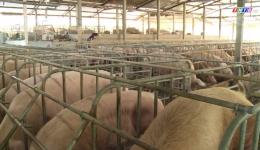 Người chăn nuôi heo dè dặt tái đàn
