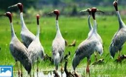 Sếu đầu đỏ trở về Vườn Quốc gia Tràm Chim sau thời gian vắng bóng