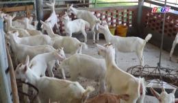 Mô hình nông dân nuôi dê lấy sữa mang lại hiệu quả kinh tế